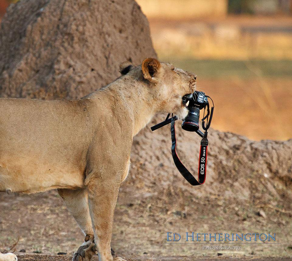 Ed Hetherington gets a great shot of a lioness, but not the shot he had planned.