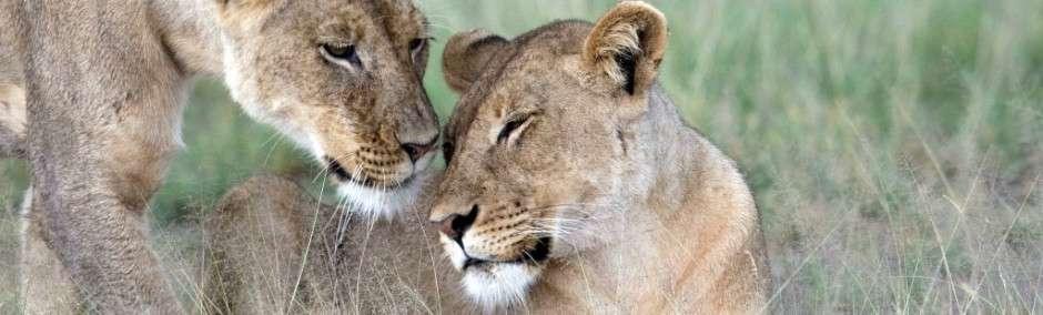 Lions in Kalahari