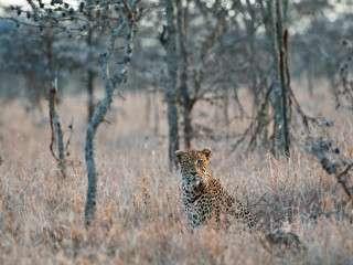 leopard Segera Kenya