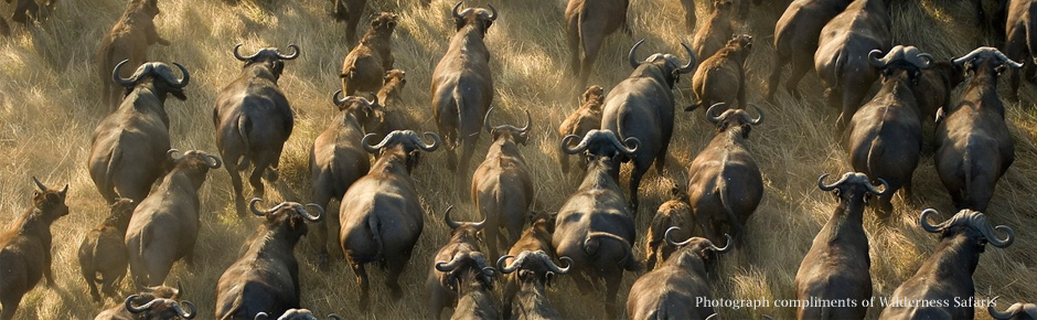 Buffalo herd from hot air balloon, Kafue, Zambia