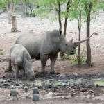 namibia rhinos