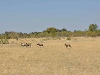 Wild dogs Okavango