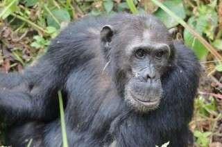 Chimps in Mahale, Tanzania