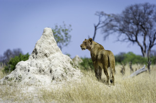 Great lion sightings at Little Makalolo, Hwange National Park