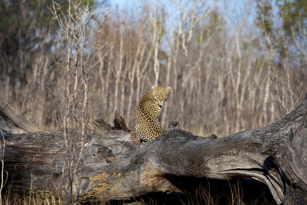 Awesome leopard near Little Makalolo