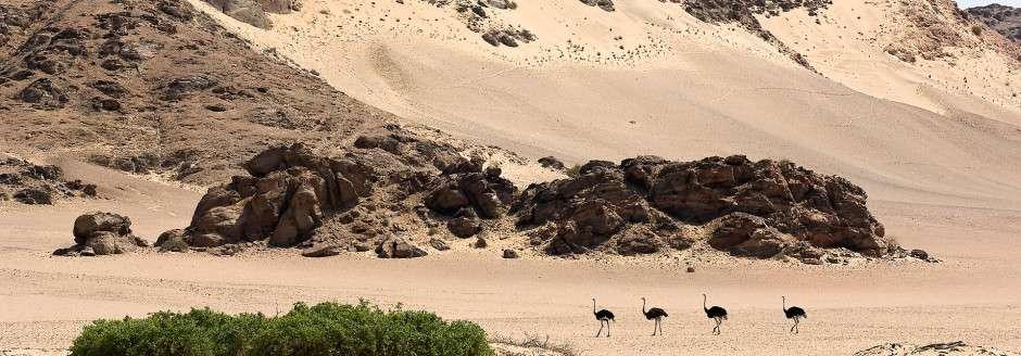 Ostrich family near Hoanib Skeleton Coast